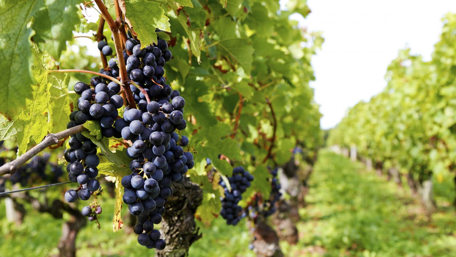 Vignes - © Djé - 1 moment 1 image (2)