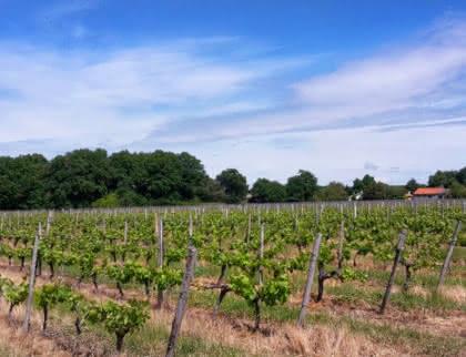 Vignes Jau-Dignac-et-Loirac - © Médoc Atlantique (1)