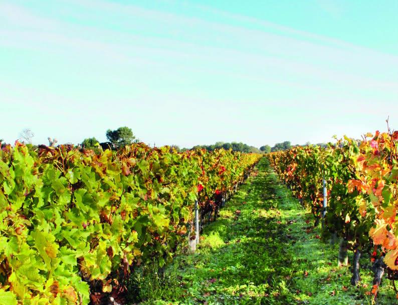 Vignes Vensac - © Médoc Atlantique