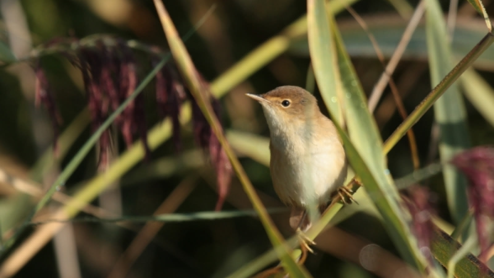 La rousserolle effarvatte est commune dans les marais de la réserve